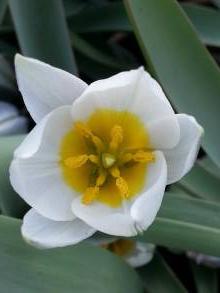liliaceae       tulipa botanique       polychroma              tulipe