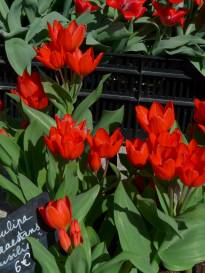 liliaceae       tulipa botanique       praestans       Fusilier       tulipe
