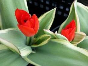 liliaceae       tulipa botanique       praestans       Unicum       tulipe