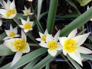 liliaceae       tulipa botanique       sogdiana              tulipe