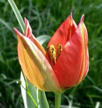liliaceae       tulipa botanique       sprengeri              tulipe