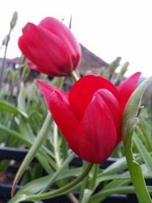 liliaceae       tulipa botanique       stapfii              tulipe