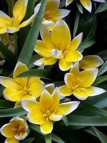 liliaceae       tulipa botanique       tarda              tulipe
