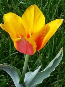 liliaceae       tulipa botanique       tschimganica              tulipe