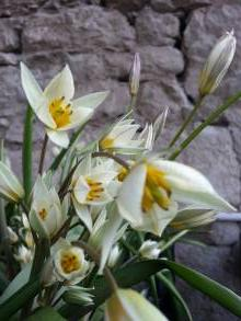 liliaceae       tulipa botanique                     tulipe turkestanica