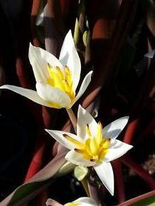 tulipa botanique turkestanica