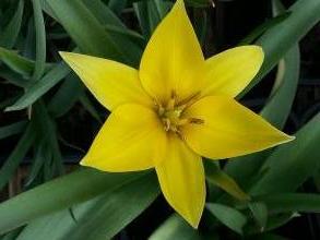 liliaceae       tulipa botanique       urumiensis              tulipe