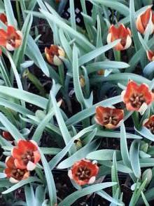 liliaceae       tulipa botanique       whittallii              tulipe