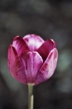 liliaceae       tulipa historique       Rembrandt       Columbine       tulipe