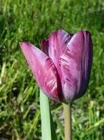 liliaceae       tulipa historique       Double Hâtive       Insulinde       tulipe