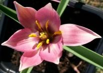 liliaceae       tulipa botanique       humilis       Aucheriana       tulipe