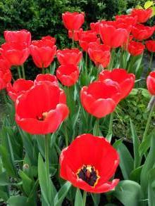 liliaceae       tulipa massif       Darwin       Apeldoorn       tulipe