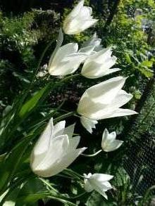 liliaceae       tulipa massif       Fleur de Lys       White Triumphator       tulipe