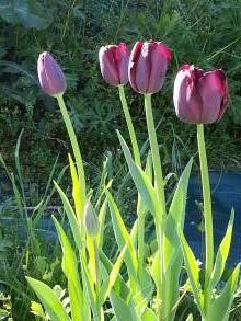 liliaceae       tulipa massif       Simple tardive       Queen of the Night       tulipe