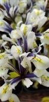 iridaceae 