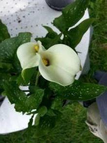 araceae       zantedeschia       albomaculata              Arum