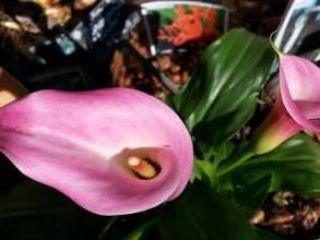 zantedeschia rehmannii