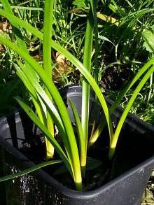 amaryllidaceae       zephyranthes       citrina              zéphyranthe, lys de la pluie