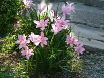 zephyranthes robusta1 jpg